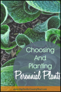 Choosing and planting perennial plants