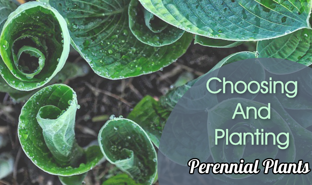 Choosing and planting perennials