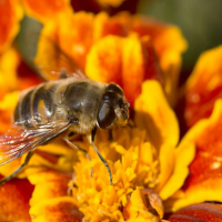 4 Easy Ways to Control Garden Pests- Bee and Marigold